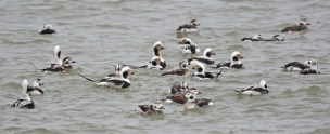 Long-tailed Duck - Irondequoit Bay Outlet - © Dick Horsey - Jan 31, 2017