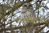 Barred Owl - Black Creek Park - © Dick Horsey - Feb 01, 2017