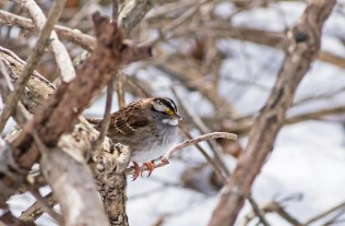 White-throated Sparrow - Mendon Ponds - © Lyndsay Farrar - Feb 02, 2017