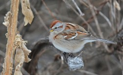 American Tree Sparrow - Mendon Ponds Park - © Dick Horsey - Feb 06, 2017
