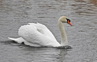 Mute Swan - Irondequoit Bay Outlet - © Candace Giles - Feb 10, 2017