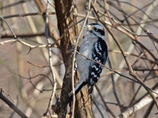 Downy Woodpecker - Whiting Road Nature Preserve - © Dick Horsey - Feb 18, 2017