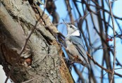 White-breasted Nuthatch - Whiting Road Nature Preserve - © Dick Horsey - Feb 18, 2017