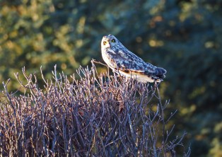 Short-eared Owl - Avon - © Carol Shay - Feb 18, 2017