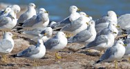 Ring-billed Gull - Hamlin Beach Park - © Dick Horsey - Feb 20, 2017