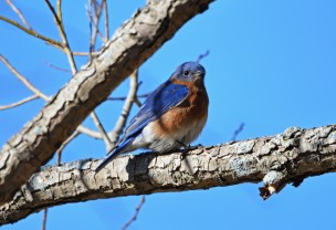 Eastern Bluebird - Hamlin Beach Park - © Dick Horsey - Feb 20, 2017