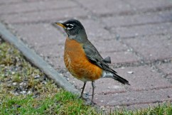 American Robin - Webster - © Peggy Mabb - Feb 27, 2017