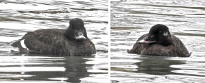 White-winged Scoter (F) - Irondequoit Bay Outlet - © Candace Giles - Mar 06, 2017
