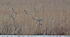 Green-winged Teal - North Ponds Park - © Dick Horsey - Mar 24, 2017