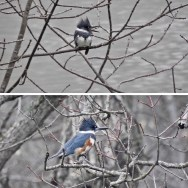 Belted Kingfisher - Boughton Park - © Claudia Walsh - Mar 28, 2017