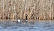 Blue-winged Teal and Canada Goose - Burger Park - © Dick Horsey - Mar 29, 2017