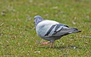Rock Dove - LaSalle Landing - © Dick Horsey - Apr 03, 2017