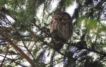 Northern Saw-whet Owl - Owl Woods - © Carol Shay - Apr 04, 2017