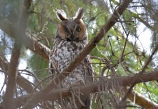 Long-eared Owl - Owl Woods - © Dick Horsey - Apr 10, 2017