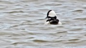 Bufflehead - Hamlin Beach Park - © Dick Horsey - Apr 11, 2017