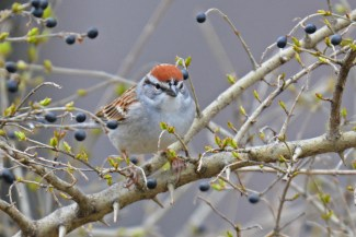 Chipping Sparrow - Hamlin Beach Park - © Dick Horsey - Apr 11, 2017