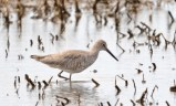 Willet (Western) - Hamlin - © Dick Horsey - Apr 13, 2017