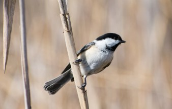 Black-capped Chickadee - Tinker Nature Park - © Lyndsay Farrar - Apr 14, 2017