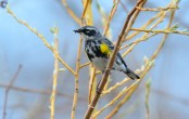 Yellow-rumped Warbler - Braddock Bay-West Spit - © Nick Kachala - Apr 16, 2017