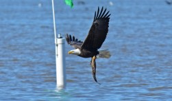 Bald Eagle - Abraham Lincoln Park - © Dick Horsey - Apr 23, 2017