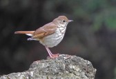 Hermit Thrush - Highland Park (RBA field Trip) - © Eunice Thein - Apr 26, 2017