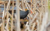 Common Gallinule - Montezuma NWR - © Dick Horsey - Apr 26, 2017