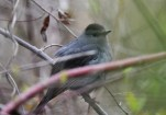 Gray Catbird - Lakeview Community Church Trail (RBA field trip) - © Dick Horsey - Apr 29, 2017