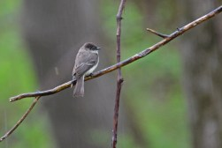 Eastern Phoebe - Four Mile Creek Preserve (RBA field trip) - © Dick Horsey - Apr 30, 2017