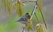 Northern Parula - Cobbs Hill - © Dick Horsey - May 04, 2017