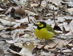 Hooded Warbler - Cobbs Hill - © Jane Miller - May 08, 2017