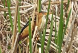 Least Bittern - Lucien Morin Park (RBA field trip) - © Candace Giles - May 11, 2017