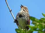 Song Sparrow - Lucien Morin Park (RBA field Trip) - © Candace Giles - May 11, 2017