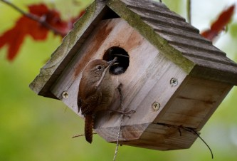 House Wren - Webster - © Peggy Mabb - May 12, 2017