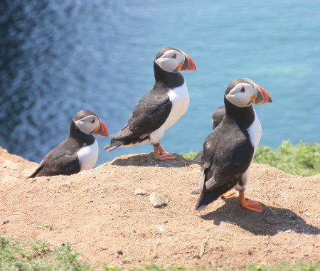 Puffins on Skomer, near to Roch Mill and the Granary self catering holiday cottage, Pembrokeshire Coast National Park