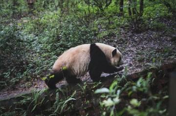 Réserve de panda