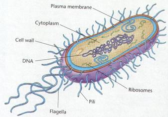 How to draw bacteria cell Diagram easy step by step video tutorial