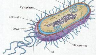 how to draw bacteria cell