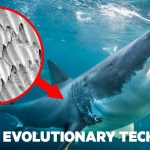 How Shark Scales