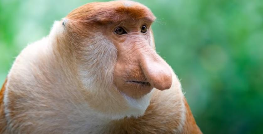 long nosed monkey