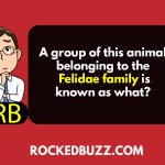 A group of this animal belonging to the Felidae family is known as what