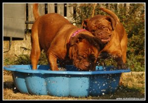 Dogs playing in pool. Dogs Dehydration