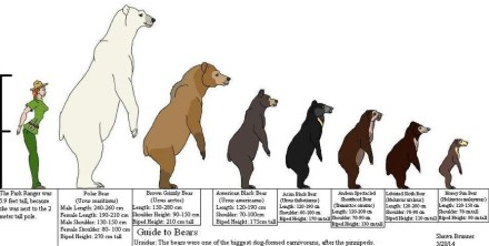 how-tall-is-a-polar-bear-standing-up-compared-to-other-bears-and-human.jpg