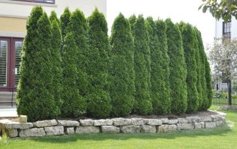 Awesome Fence With Evergreen Plants Landscaping Ideas 18