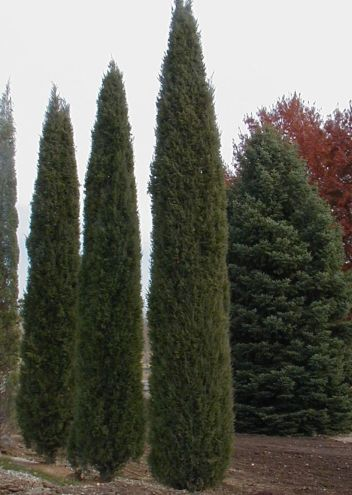 Awesome Fence With Evergreen Plants Landscaping Ideas 32