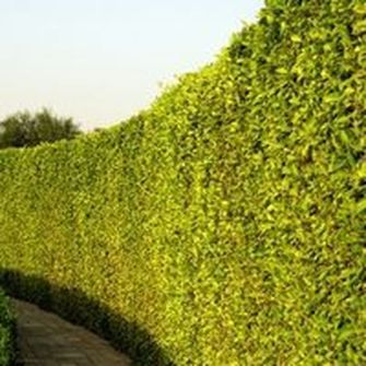 Awesome Fence With Evergreen Plants Landscaping Ideas 41