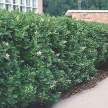 Awesome Fence With Evergreen Plants Landscaping Ideas 70