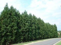 Awesome Fence With Evergreen Plants Landscaping Ideas 79
