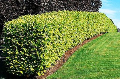 Awesome Fence With Evergreen Plants Landscaping Ideas 85