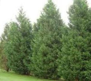 Awesome Fence With Evergreen Plants Landscaping Ideas 89