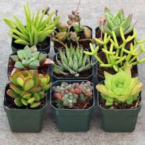 Beauty Succulents for Houseplant Indoor Decorations 26 1